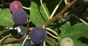 Figs in Pearland | The History of Figs in Pearland