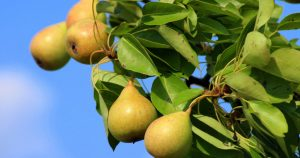 Pearland, Texas | Are there pears in Pearland?